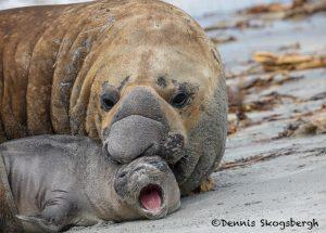 5942 Southern Elephant Seal Pair (Mirounga leonine), Sea Lion Island, Falklands