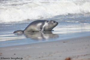 5943 Female Southern Elephant Seal (Mirounga leonina), Sea Lion Island, Falklands