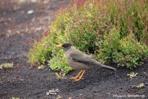 5944 Austral Thrush (Turdus falcklandii), Sea Lion Island, Falklands