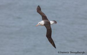 5949 Black-browed Albatross (Thalassarche melanophris), Saunders Island, Falklands