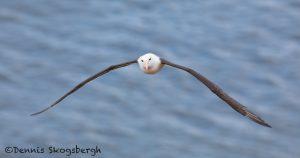 5951 Black-browed Albatross (Thalassarche melanophris), Saunders Island, Falklands