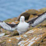 5952 Black-browed Albatross (Thalassarche melanophris), Saunders Island, Falklands