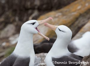 5953 Black-browed Albatross (Thalassarche melanophris), Saunders Island, Falklands
