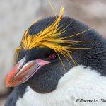 5955 Macaroni Penguin (Eudyptes chrysolophus), Saunders Island, Falklands