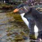 5956 Rockhopper Penguin [Eudyptes (chrysocome) filholi], Saunders Island, Falklands