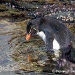 5957 Rockhopper Penguin [Eudyptes (chrysocome) filholi], Saunders Island, Falklands