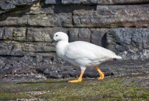 5959 Male Kelp Goose (Chloephaga hybrida), Saunders Island, Falklands