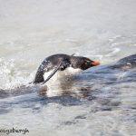 5960 Rockhopper Penguin [Eudyptes (chrysocome) filholi], Saunders Island, Falklands