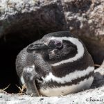 5961 Magellanic Penguin (Spheniscus magellanicus), Sea Lion Island, Falklands
