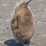 5963 Immature King Penguin (Aptenodytes patagonicus), Volunteer Point, Falkland Islands