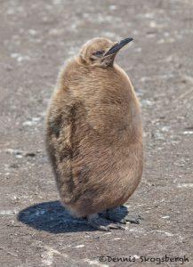 5963 Immature King Penguin (Aptenodytes patagonicus), Volunteer Point, Falkland Islands