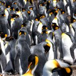 5964 King Penguin Community, Volunteer Point, Falkland Islands