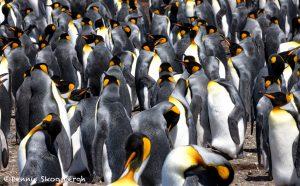 5964 King Penguin Community, Volunteer Point, Falkland Islands