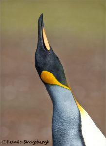 5965 King Penguin Challenge, Volunteer Point, Falkland Islands