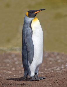 5971 King Penguin (Aptenodytes patagonicus), Volunteer Point, Falkland Islands