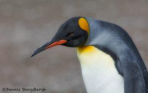5972 King Penguin (Aptenodytes patagonicus), Volunteer Point, Falkland Islands