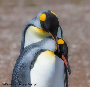 5974 Mating Ritual, King Penguin (Aptenodytes patagonicus), Volunteer, Point, Falkland Islands