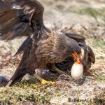 5977 Striated Caracaras With Penguin Egg, Sea Lion Island, Falklands