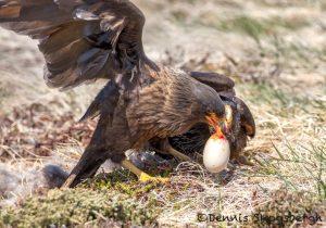 5977 Striated Caracaras With Penguin Egg, Sea Lion Island, Falklands