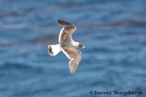 5982 Immature Dolphin Gull (Leucophaeus scoresbii), Sea Lion Island, Falklands