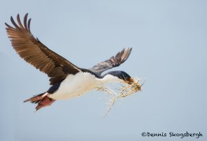 5983 Imperial Shag (Cormorant) (Phalacricorax atriceps), Sea Lion Island, Falklands