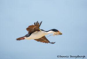 5984 Imperial Shag (Cormorant) (Phalacricorax atriceps), Sea Lion Island, Falklands