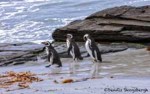 5985 Magellanic Penguins (Spheniscus magellanicus), Sea Lion Island, Falklands