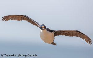 5986 Imperial Shag (Cormorant) (Phalacricorax atriceps), Sea Lion Island, Falklands