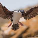 5987 Imperial Shag (Cormorant) (Phalacricorax atriceps), Sea Lion Island, Falklands