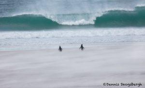 5988 Blowing Sand, Magellanic Penguins, Saunders Island, Falklands