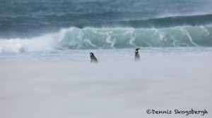 5989 Blowing Sand, Magellanic Penguins, Saunders Island, Falklands