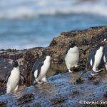 5992 Rockhopper Penguins (Eudyptes (Chrysocome) filholi), Saunders Island, Falklands