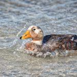 5993 Male Falkland Steamer Duck, (Tachyeres brachypterus), Saunders Island, Falklands