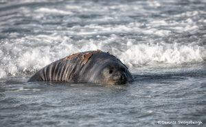 5994 Southern Elephant Seal (Mirounga leonina), Sea Lion Island, Falklands