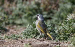 6003 Male Black-throated (White-bridled/Canary-winged) Finch (Melanodera melanodera), Sea Lion Island, Falklands