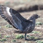 6005 Brown Skua (Catharacta antarctica), Sea Lion Island, Falklands