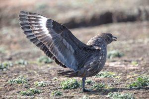 6005 Brown Skua (Catharacta antarctica), Sea Lion Island, Falklands