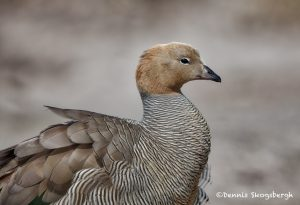 6006 Ruddy-headed Goose (Chloephaga rubidiceps), Sea Lion Island, Falklandspsd