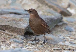 6012 Tussacbird (Cinclodes antarcticus), Sea Lion Island, Flaklands
