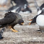 6014 Striated Caracara Trying To Steal Gentoo Egg, Sea Lion Island, Falklands