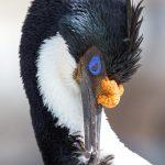 6016 Imperial Shag (Cormorant) (Phalacricorax atriceps), Sea Lion Island, Falklands