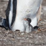 6020 Gentoo Penquin With Chicks (Pygoscelis papua), Sea Lion Island, Falklands