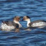 6024 Southern Silvery Grebes at Sunset (Podiceps occipitalis), Sea Lion Island, Falklands