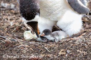 6026 Gentoo Penquin With Chicks (Pygoscelis papua), Sea Lion Island, Falklands