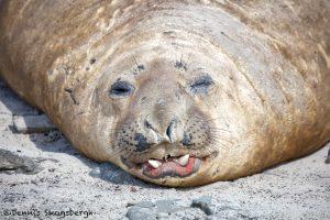 6027 Southern Elephant Seal (Mirounga leonina), Sea Lion Island, Falklands