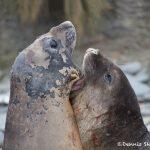 6029 Southern Elephant Seals (Mirounga leonina), Sea Lion Island, Falklands