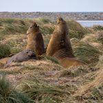 6033 Southern Elephant Seals (Mirounga leonina), Sea Lion Island, Falklands