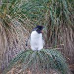 6036 Rockhopper Penguin (Eudyptes chrysocome), Bleaker Island, Falklands