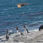 6037 Alert Call By Rockhopper Penguins - Hovering Caracara, Bleaker Island, Falklands