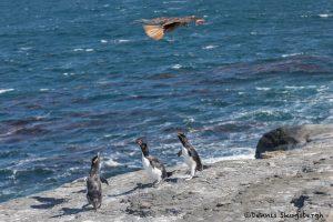 6037 Alert Call By Rockhopper Penguins - Hovering Caracara, Bleaker Island, Falklands